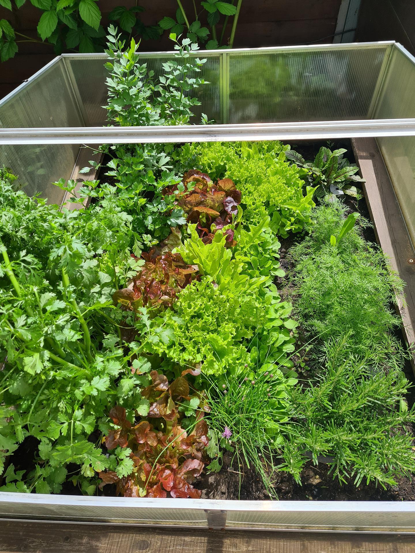 Naša záhradka 2021 - Salatu je neurekom :)