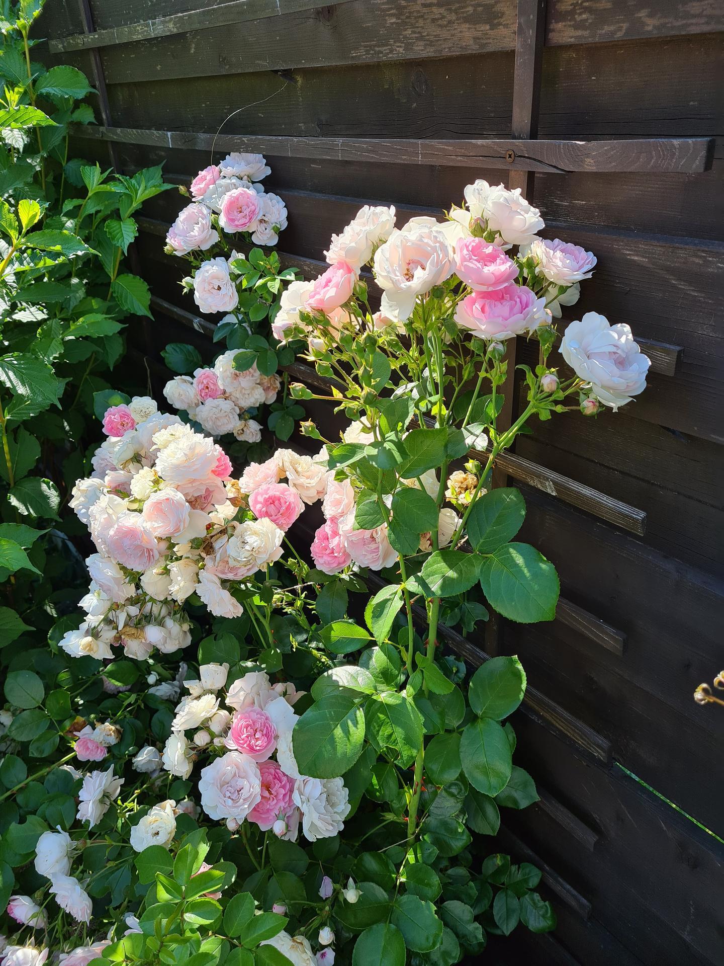 Naša záhradka 2021 - Kordes Jasmina v plnom kvete