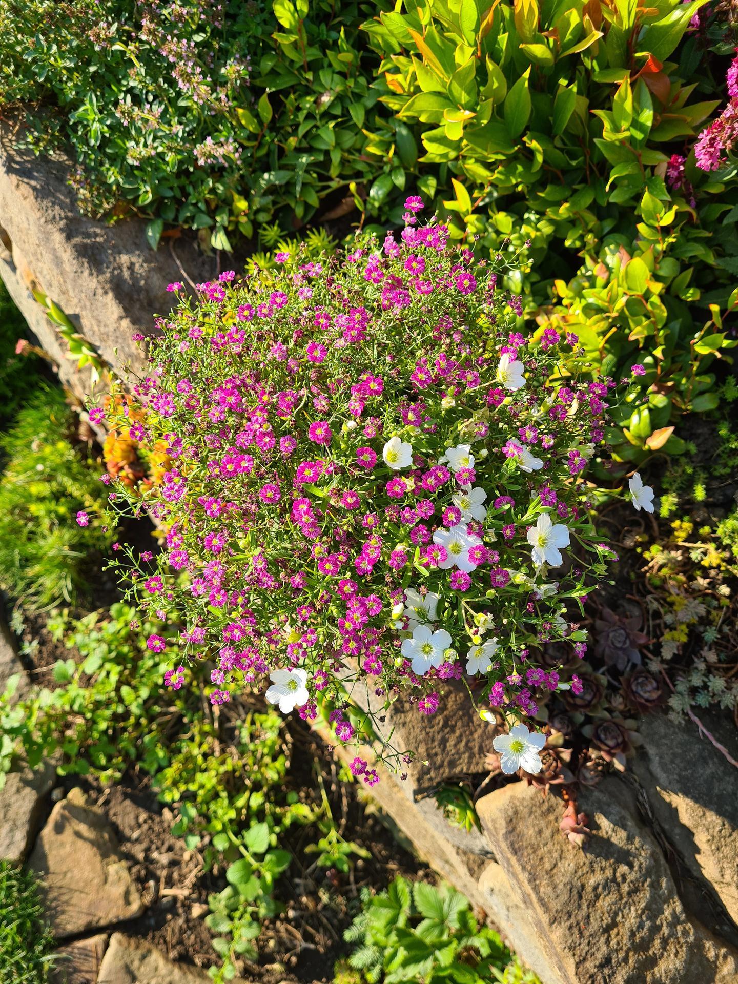 Naša záhradka 2021 - gypsophila plus cosi biele, dnes kupene v kvetinaci