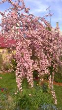 Moja sakura