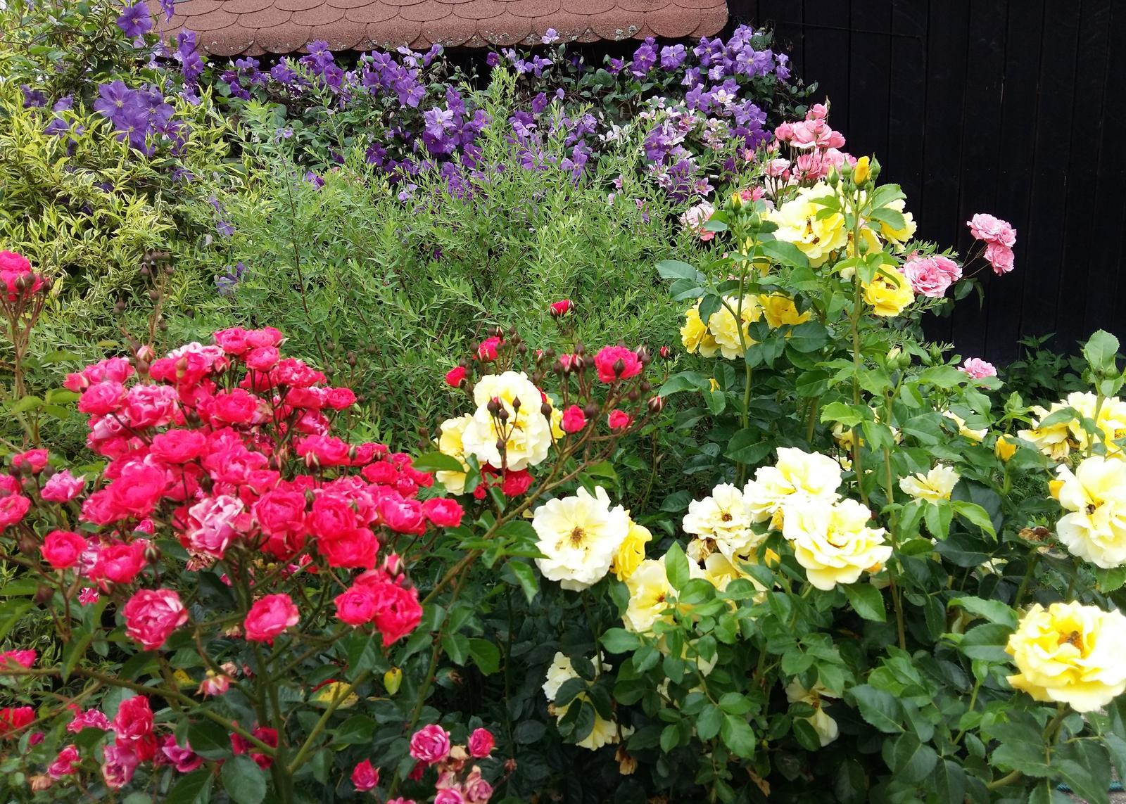Ružový raj - Clematis skrýva bránku k susede.:) Aby sme nemuseli chodiť naokolo na kávu :) Niet nad dobrého suseda.:)