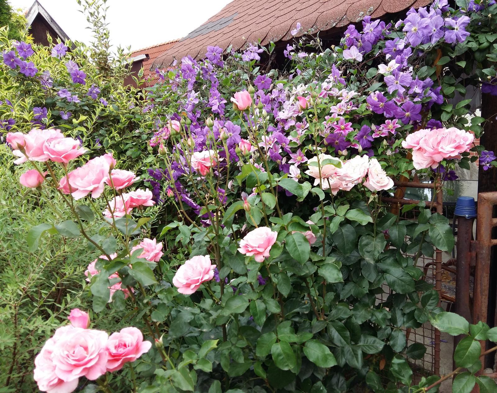 Ružový raj - Fialový clematis sa ťahá aj po odkvitnutej vajgele,prerastá pomedzi konáre,a stalo sa mi,že sa každý kto prišiel ,pýtal,čo je ten fialový krík :)