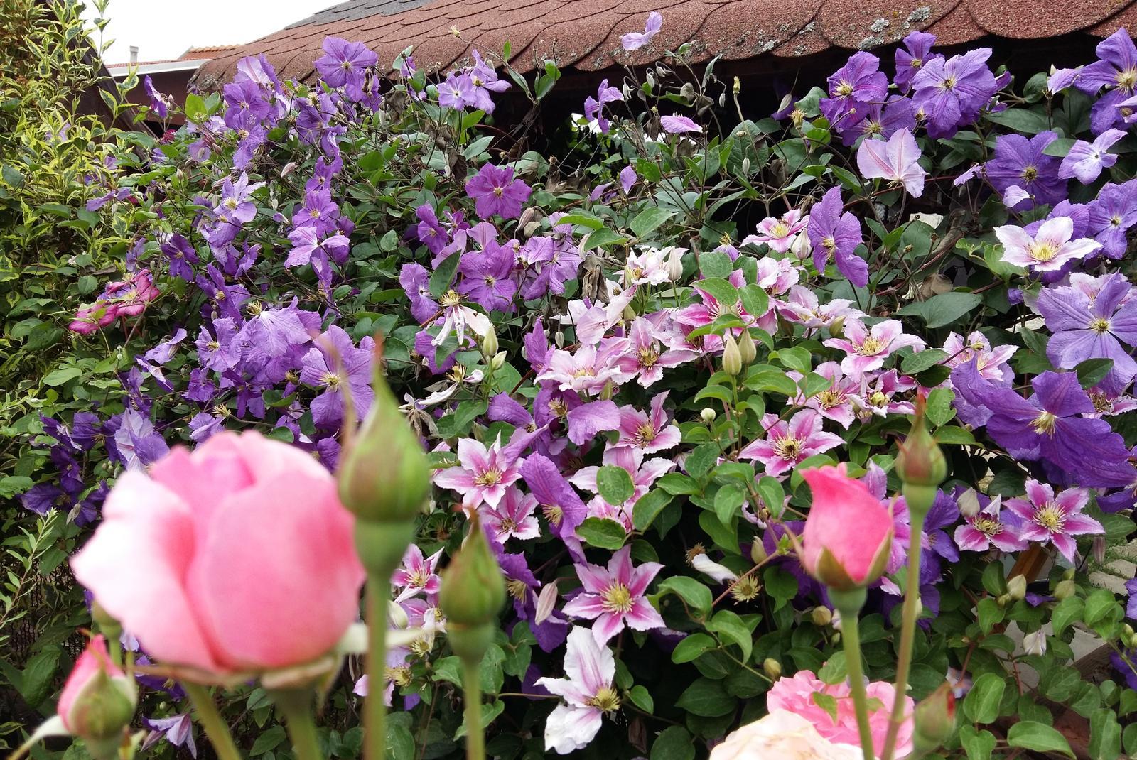 Ružový raj - Obrázok č. 15