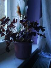 všechno do fialova...kytička na okně