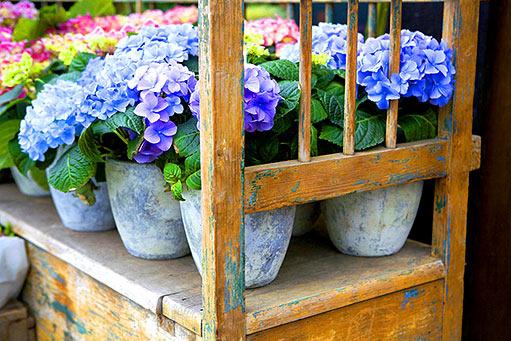 Plány pre našu budúcu záhradu - nádherné hortenzie, zatial som úspech v ich pestovaní nezožala a nemienim sa vzdať... poradí niekto nejaký zlepšovák na ne?