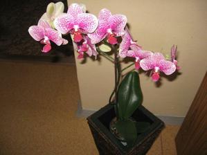 orchidejka,zrovna krásně kvete :)