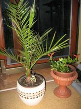 palmička už čeká na teploučko,aby mohla ven ...