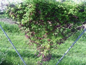 akebie nadherne voni skoda ze nekvete celé léto:-)