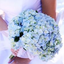 modra hortenzie