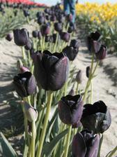 Tieto tulipany su uzasne! Musim zistit, ci sa niekde daju zohnat.