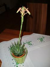 rozkvetlé Aloe