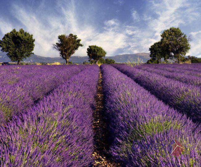 Líbí se nám... Všehochuť - levandulové pole  :-) Krása :-)