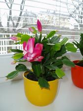 a prý, že je to vánoční kaktus :-) tak se mi zbláznil :-)