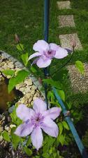 Plamének lila