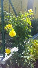 1,5 m vysoká růže loni koupená v Tescu za 39 Kč