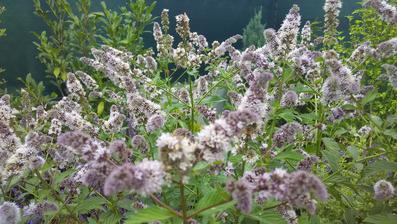 Bylinková spirála není pod hojným porostem bylinek ani vidět. Chtěla jsem ji ostříhat, ale když na meduňku a mátu lítá tolik včelek a čmeláků, je mi to líto.