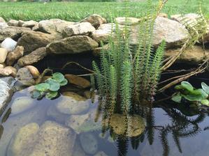 Přeslička i hyacinty se začínají také rozrůstat