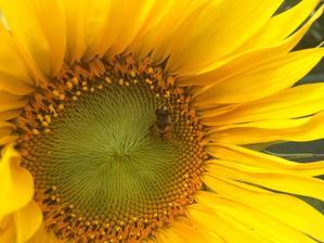 Hoduje si na slunečnici, potom nastoupí ptáci :)