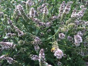 Máta v květu, stále plná včelek, čmeláků, berušek a motýlů.