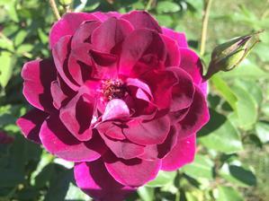 Tesco růže