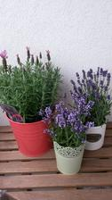 vacsia je Lavandula stoechas a dve mensie Lavandula angustifolia