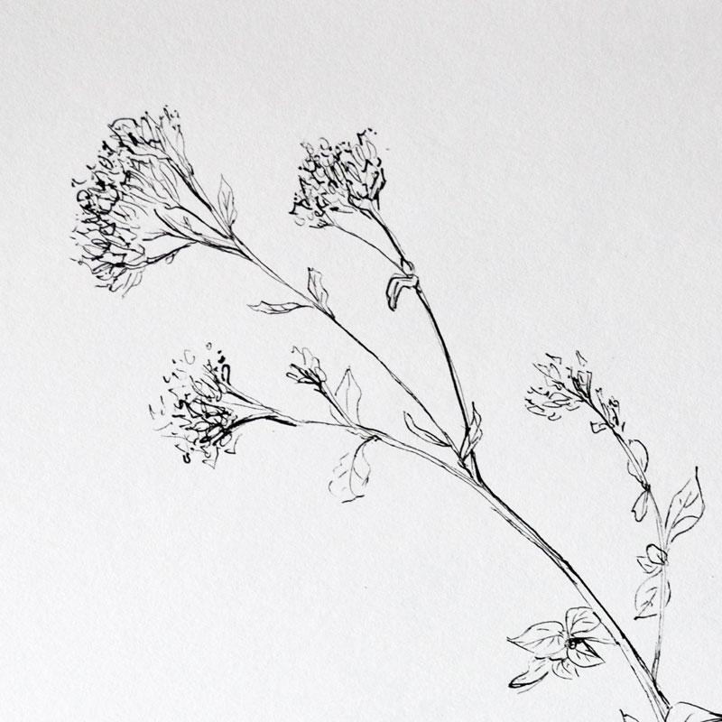 artyp - Dobromysl, perokrsba bylinky ze které vzniklo oznámení.