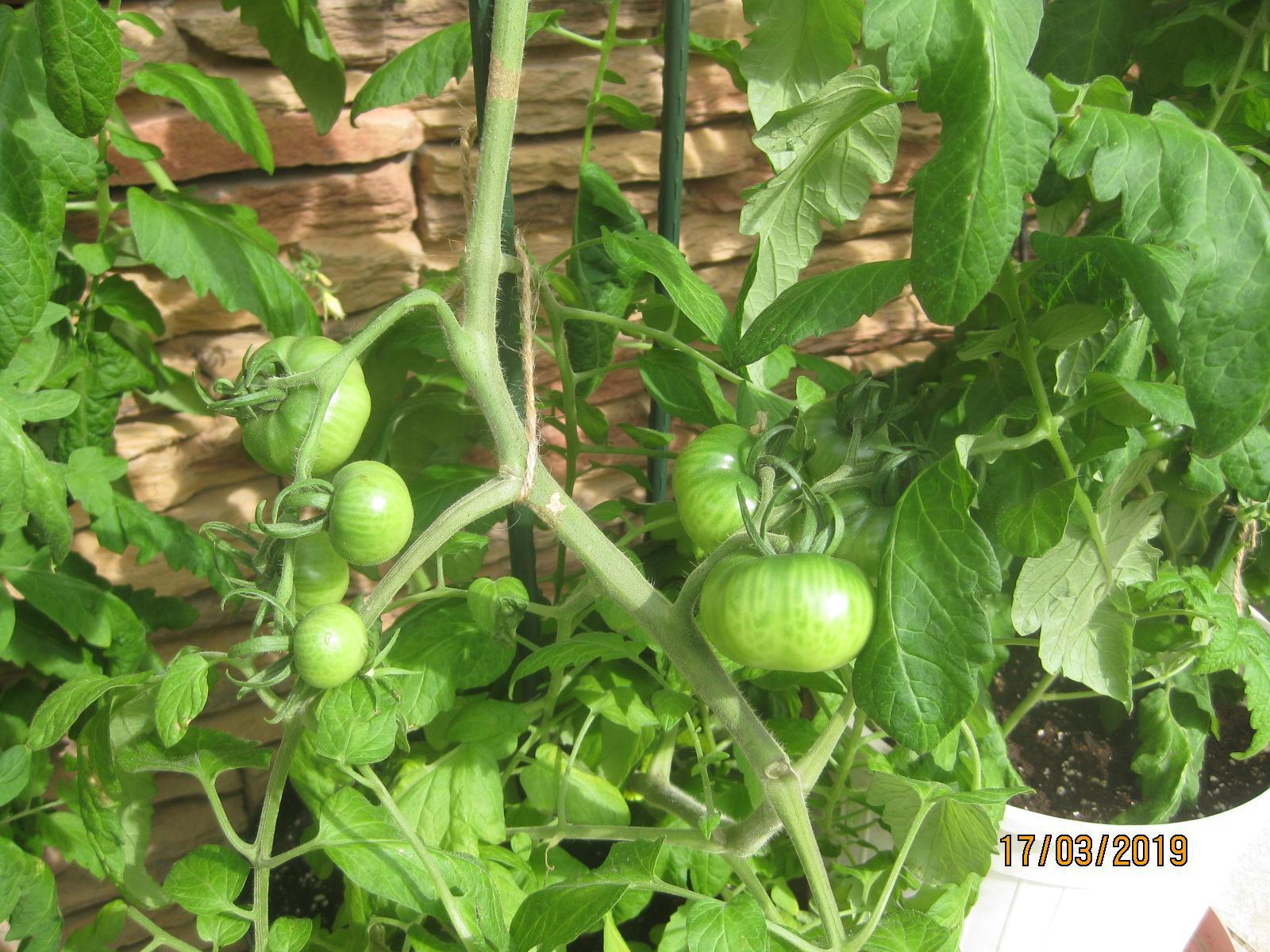 Dnešné otužovanie rajčín vo... - Obrázok č. 2