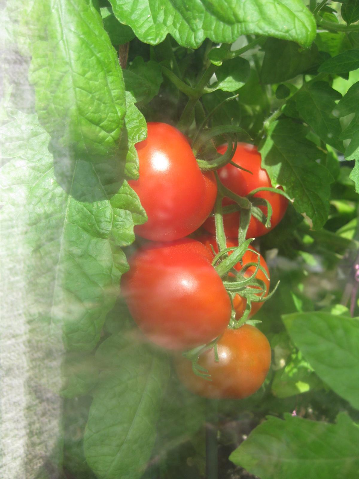 Včerajšie rajčinkovanie- oberačka, pikírovačka... - Obrázok č. 2