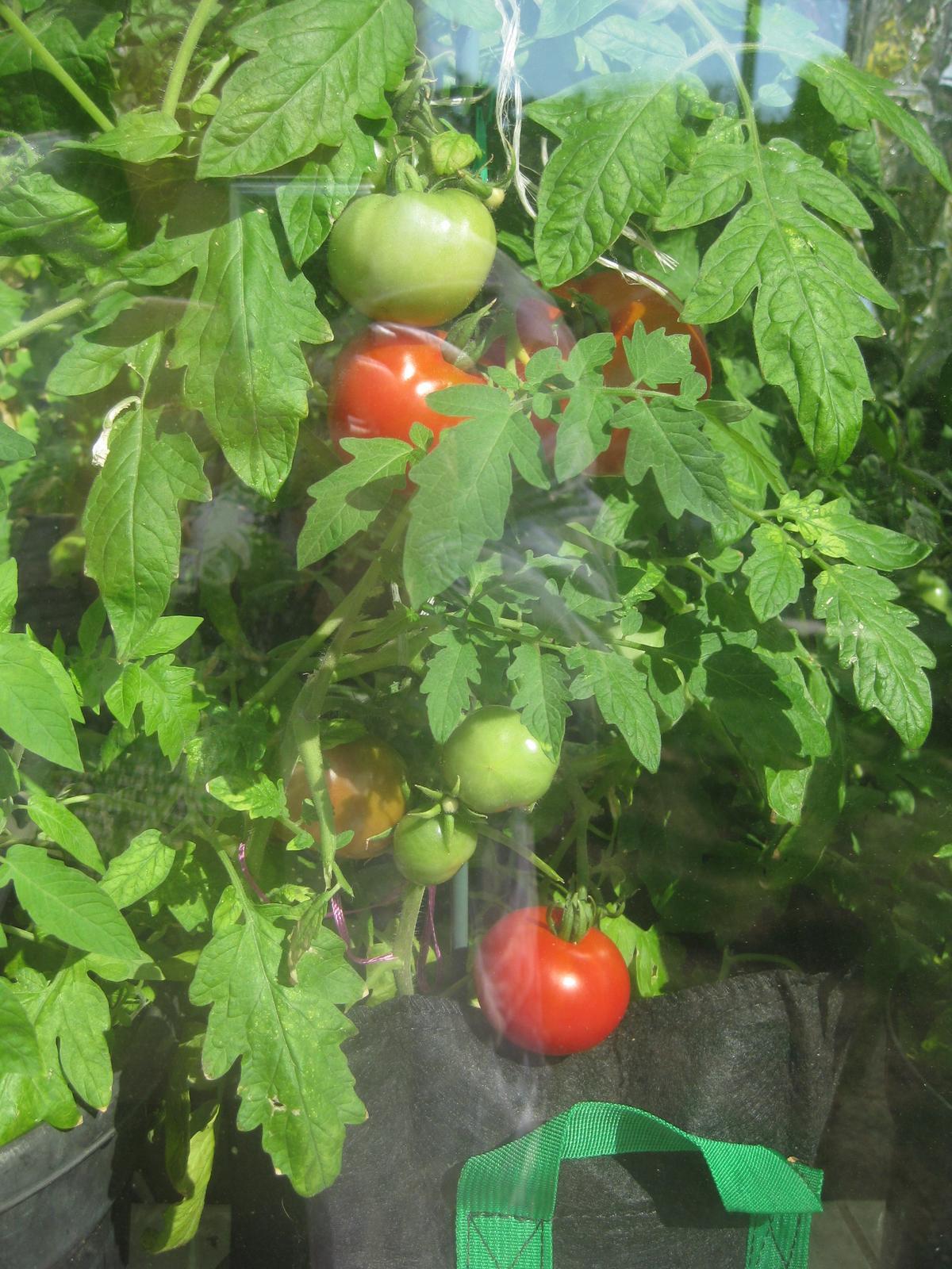 Včerajšie rajčinkovanie- oberačka, pikírovačka... - Obrázok č. 3