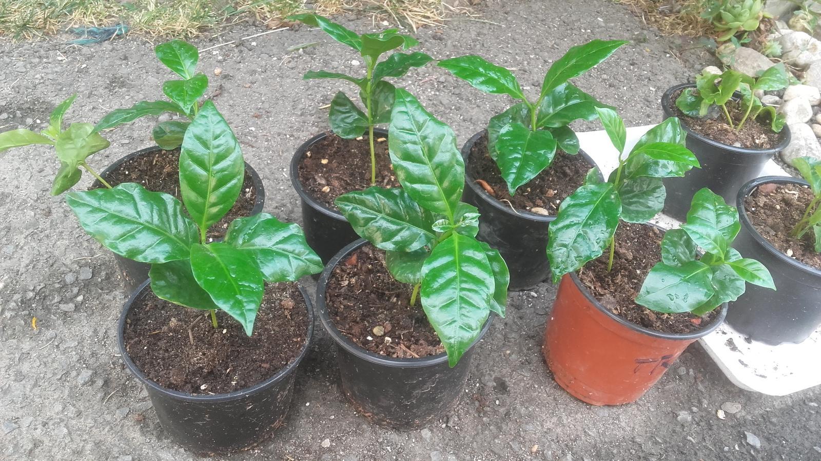 Káva (Coffee arabica) - Obrázok č. 1