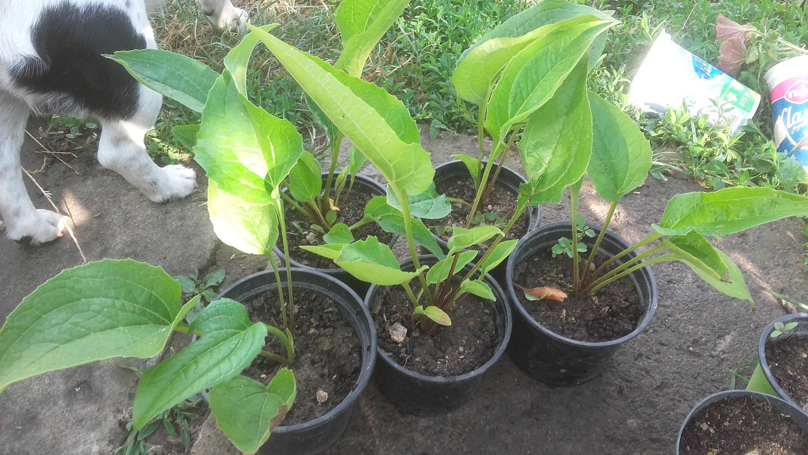 Chryzantéma a echinacea - Obrázok č. 2