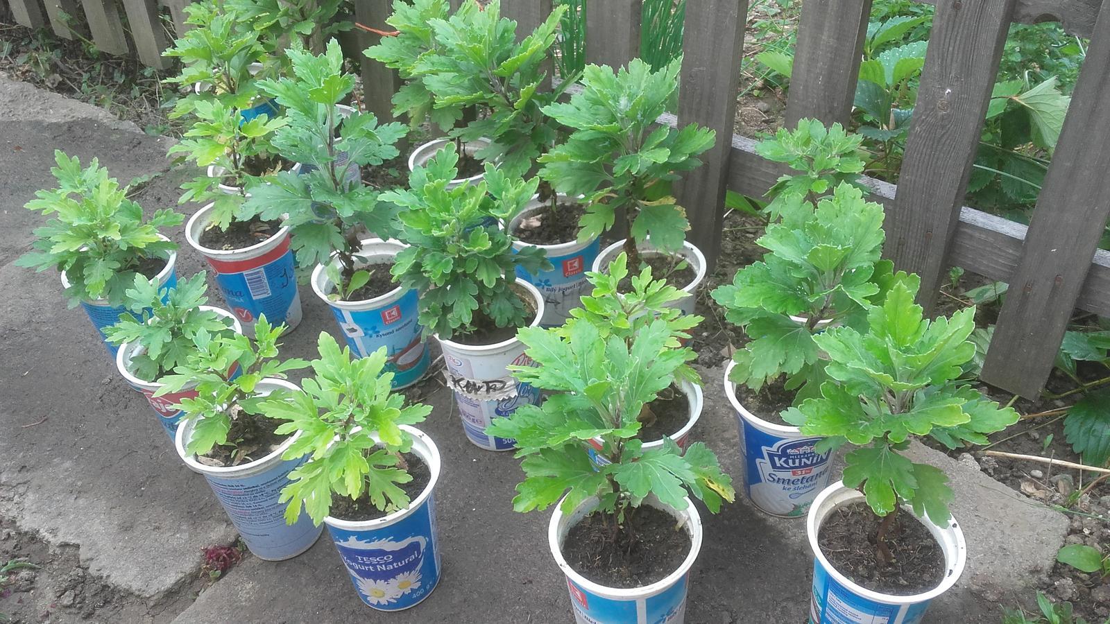 Chryzantéma a echinacea - Obrázok č. 3