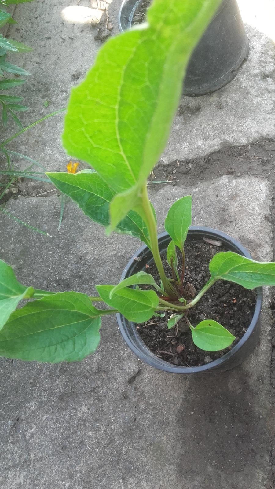 Chryzantéma a echinacea - Obrázok č. 4