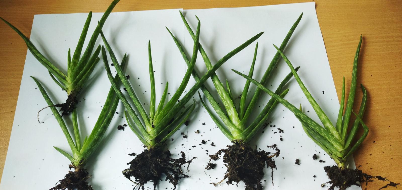 Aloe vera - Obrázok č. 1