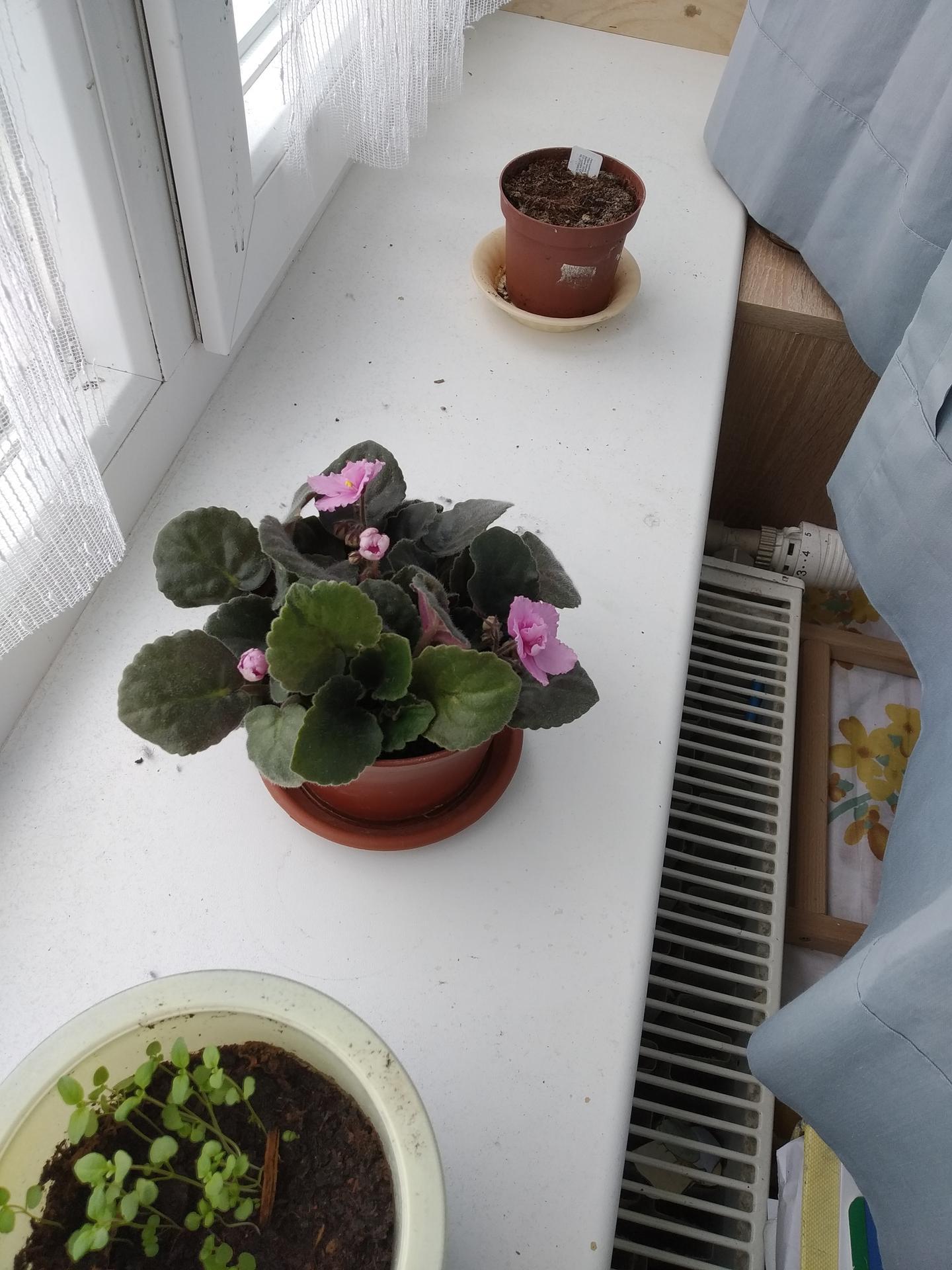 Balkónová zelenina vysádzanie a množenie - Obrázok č. 4