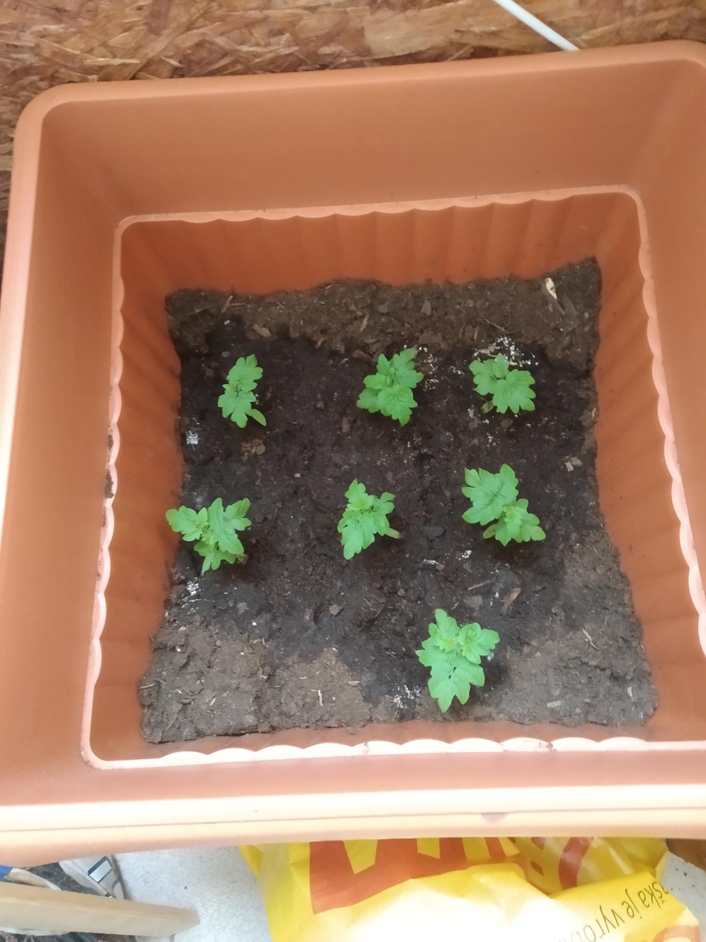 Balkónová zelenina vysádzanie a množenie - Obrázok č. 7