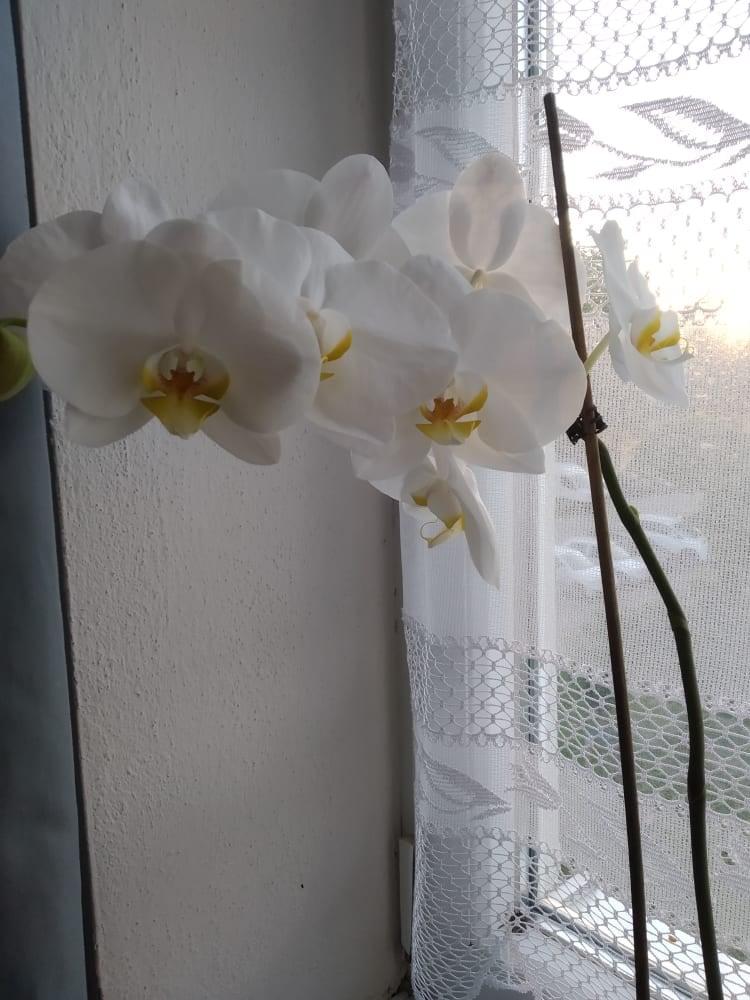 https://nadherneorchidee.webnode.sk/?_ga=2.203410772.434229989.1624295985-62785458.1595048097  Ahojte po dlhej dobe som prešla na orchidee - Obrázok č. 1