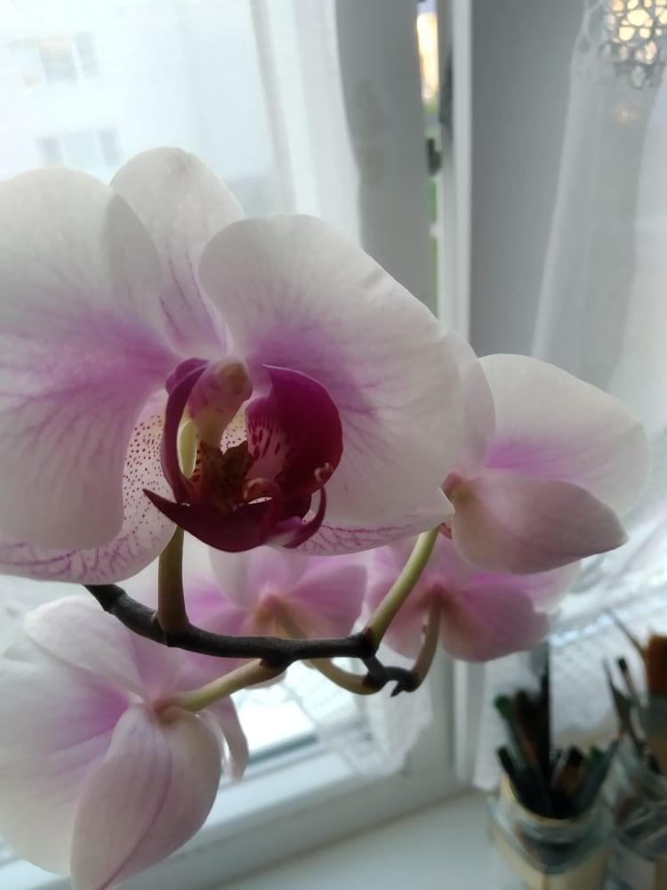 https://nadherneorchidee.webnode.sk/?_ga=2.203410772.434229989.1624295985-62785458.1595048097  Ahojte po dlhej dobe som prešla na orchidee - Obrázok č. 2