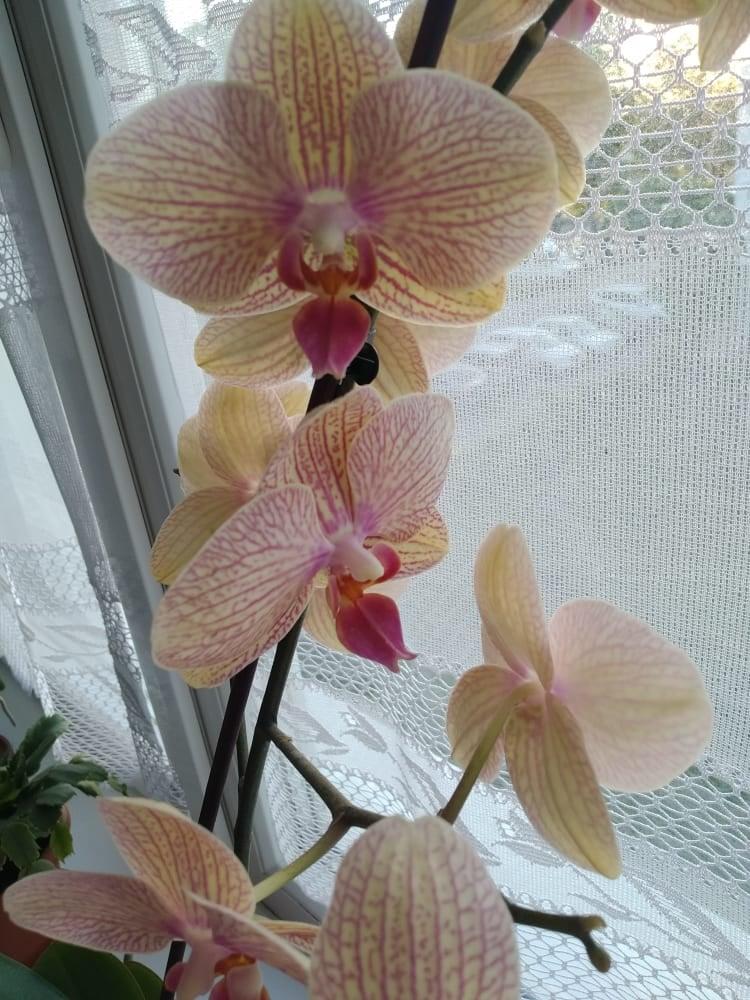 https://nadherneorchidee.webnode.sk/?_ga=2.203410772.434229989.1624295985-62785458.1595048097  Ahojte po dlhej dobe som prešla na orchidee - Obrázok č. 3