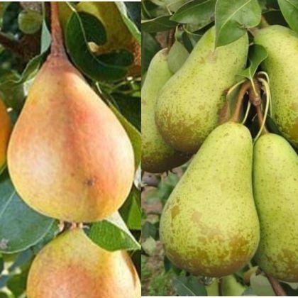 Ovocné stromčeky Jablone Hrušky Slivky Čerešne - Obrázok č. 1