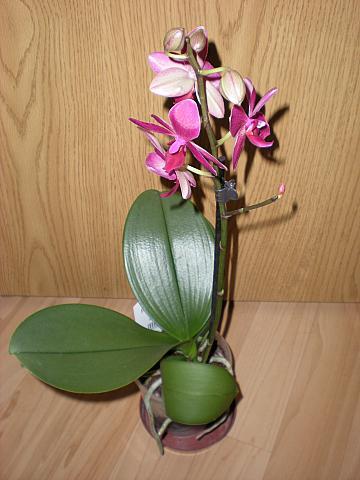 Moje krásne kvetinky - Fialová orchidea - malé kvietky (11/2010)
