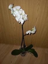Biela orchidea, vysoká (11/2010)