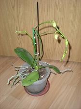 Biela orchidea - túto mám od roku 2008 (11/2008)