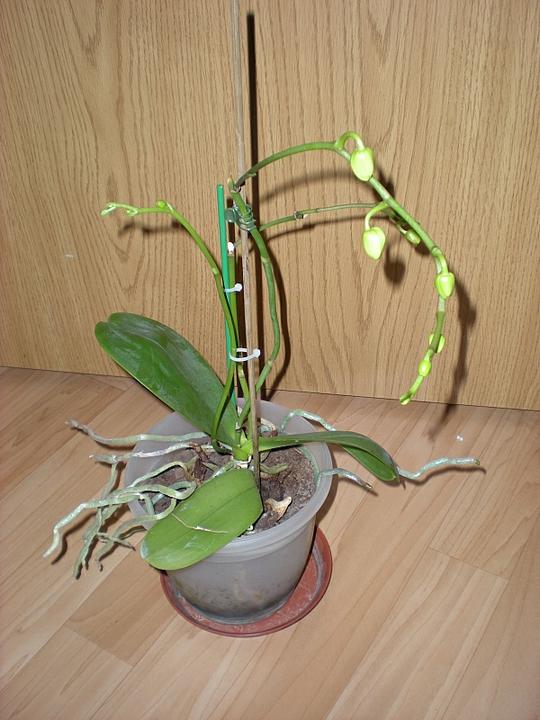 Moje krásne kvetinky - Biela orchidea - túto mám od roku 2008 (11/2008)