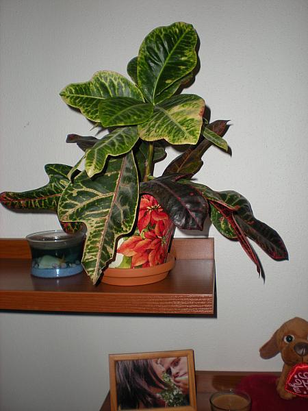 Moje krásne kvetinky - Krotón strakatý (12/2008)