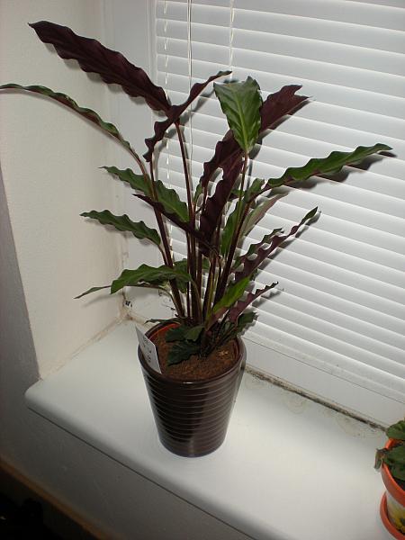 Moje krásne kvetinky - Kalathea (10/2010)
