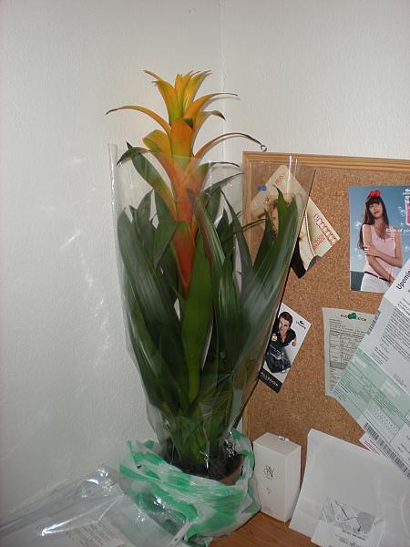 Moje krásne kvetinky - Bromélia (11/2010), ešte nevybalená, nemám črepník