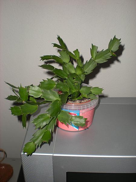 Moje krásne kvetinky - Vianočný kaktus (12/2009)