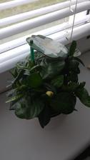 Gardenia jazminovita (12/2016)