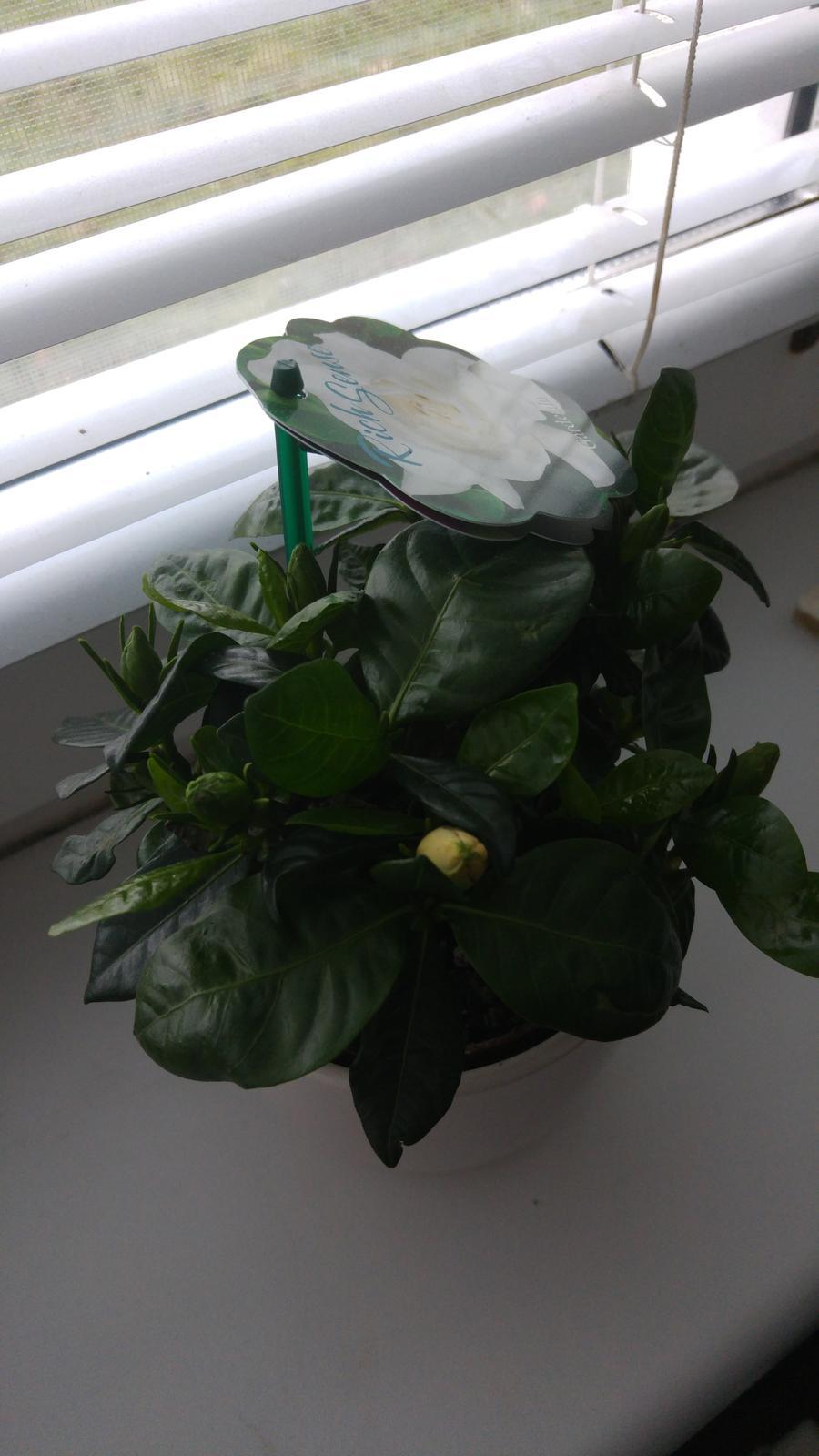 Moje krásne kvetinky - Gardenia jazminovita (12/2016)